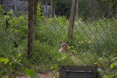 Star, a female cougar (whereisjulie?) Tags: rescue tiger lion carolina cougar ocelot serval caracal kinkajou