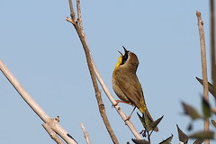 Common Yellowthroat (brian.bemmels) Tags: bc delta common warbler yellowthroat commonyellowthroat brunswickpoint