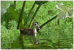 Wood Duck (duckling)  (Rodolfo Quinio) Tags: bird nature duck wildlife duckling waterfowl woodduck princegeorgescounty buddyattickpark coth greenbeltmd aquaticbird nikond500 woodduckling waterbid coth5 sunrays5