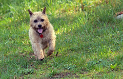 Jeter - 5/23/16 (myvreni) Tags: pets dogs animals spring vermont cairnterriers