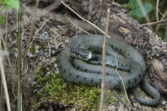 Living Cinnamon Roll (finor) Tags: snake wildlife sony dozing grasssnake ringelnatter natrixnatrix a6000 sal70400g2 ilce6000