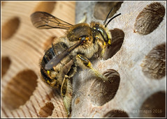Gimme shelter ... (Ed Phillips 01) Tags: wool insect bee staffordshire macto mpe anthidium carder manicatum