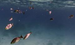 img_3781oa (www.linvoyage.com) Tags: sea thailand island sailing yacht corals racha        deadcorals