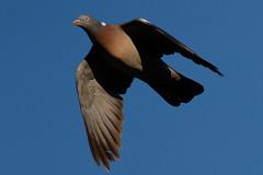 _F0A2859.jpg (Kico Lopez) Tags: birds rio spain aves galicia lugo mio columbapalumbus palomatorcaz