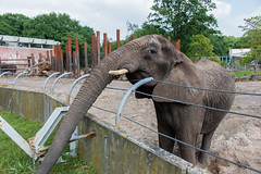 Ouwehands Zoo (Mysecrethistory) Tags: elephant animals canon zoo wildlife elephants animalkingdom rhenen ouwehands zoolife ouwehandsdierenpark ouwehand canonphotography ouwehandszoo