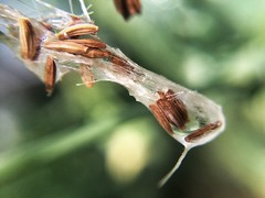 Wet Blowball (ikilledkenny1029) Tags: seeds blowball