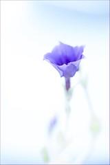 Little Phlox (haberlea) Tags: blue white plant flower green nature garden mygarden onwhite phlox phloxmoodyblues