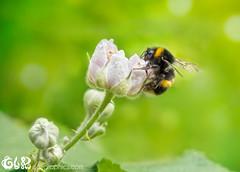 Bee on blackberry flower (claudy75) Tags: bumblebee whitetailedbumble pollinator bee pollination flower flora bokeh whiteflower flowerbuds insectonflowers garden fruit blackberry blackberryflower