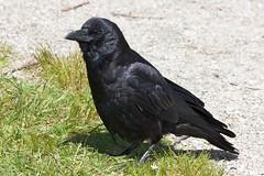 Handsome Lad (Stirrett6) Tags: bird crow corvid perching