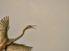 Heron Nation 06.23.2016.10 (nwalthall) Tags: sanantonio herons egrets