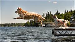 6-12 Bruno - take off (Dave (d stop - the photon whisperer)) Tags: goldenretriever jump dock dive saskatchewan bruno emmalake 12monthsforbruno 12monthsfordogs2016