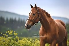 Asli (Hestefotograf.com) Tags: summer horse white norway caballo cheval cavalo pferd stallion whitehorse equine equus paard purarazaespanola hestefotograf