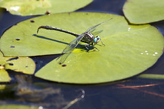 dragonfly with the turquoise eyes (Vermont Lenses) Tags: bug bristol insect pond eyes vermont lily turquoise pad