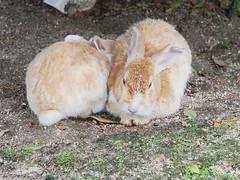 B6250649 (VANILLASKY0607) Tags: rabbit bunny bunnies nature animal japan photo wildlife wildanimal hydrangea rabbits rabbitisland wildrabbit okunoshima