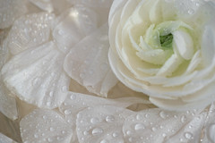 white ranunculus and water droplets (photoart33) Tags: stilllife white flower water ranunculus fresh waterdroplets