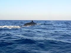 Zifio (Ziphius cavirostris) - 04 (Antonio_Mancuso) Tags: mediterraneo mare stromboli balena mammifero zifio