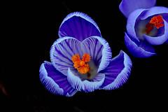 blue flower (dimitrimeyns) Tags: blue flower macro closeup bokeh crocus blueribbonwinner sigma105mm canon60d macrodreams