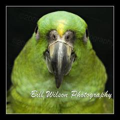 Amazon (wildlifephotonj) Tags: nature amazon parrot parrots naturephotography naturephotos wildlifephotography wildlifephotos yellownapedamazonparrot yellownapedamazon natureprints