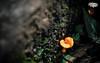 Orange Fungi (4k) (Take a Squiz Photography) Tags: colour d3 dandenongrangesnationalpark fungi horizontal macrophotography nikon outdoor vignette australia color macro fx2470mmf28 park nationalpark 4k reserve olindafallsreserve 1610 wallpaper summer morning daytime ultrahighdefinition uhd hd nikkor 16x10 nikond3 au dslr nikonfx2470mmf28 2470mmf28 wallpaper1610 naturephotography