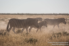Zebras With Young In Etosha National Park, Namibia
