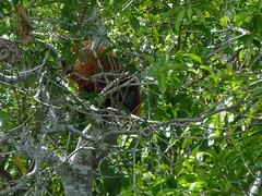 Guianan red howler monkey