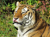Amur Tiger (1) (bookworm1225) Tags: zoo october 2014 minnesotazoo northerntrail tropicstrail