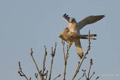 DSC_4143 Torenvalk (Falco tinnunculus)