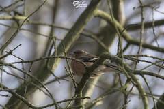 Mrz 2015_14 (AndyhookHL) Tags: tree bird up finch moor lbeck sh baum warming schleswigholstein chaffinch grenze buchfink erwrmen innerdeutsche sunsonne wesloer