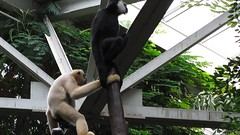 Singing Gibbon (bookworm1225) Tags: zoo october minnesotazoo 2013 tropicstrail minnesotatrail