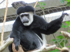 Black and White Colobus Monkey (bookworm1225) Tags: zoo october minnesotazoo 2013 tropicstrail minnesotatrail