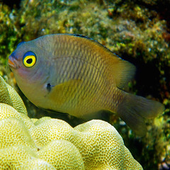 sweetlips (1crzqbn) Tags: sunlight color nature coral square underwater bokeh brain textures refractions sweetlips hss hawaiiangregory stegastesmarginatus 1crzqbn kapohotidalpools waiopaemarinesanctuary