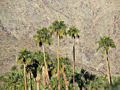 canyon /Palm Springs (kenjet) Tags: california trees mountain tree green rock desert hill palmsprings rocky ps canyon palm palmtrees palmtree backdrop