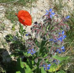 red and blue (Marlis1) Tags: poppy wildflowers borage boragoofficinalis papaveraceae klatschmohn papaverrhoeas wildblumen borretsch boraja marlis1 bourracheofficinale canong15