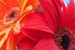Red flowers (DianaDeluxe Jewelry) Tags: gerbera redgerbera orangegerbera orangeflower redflower floral bouquetgerberabouquet red rouge orange flowers