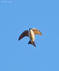 Tree Swallow (Adult In-flight) (Jon Corcoran) Tags: bird birds canon md maryland aves pajaros naturephotography birdphotography 100400 joncorcoran canon7dmarkii marylandbased jccorlante ef100400lii