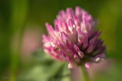 Magenta flower (Simon Woryna) Tags: sun flower macro spring magenta blume makro sonne frhling magneta