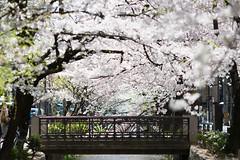 628A3229 (TetuNotable) Tags: kyoto sakura kiyamachi