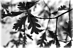 4/20 Leaves in my Yard (with some post processing!) (Bella Lisa) Tags: tree leaves oak sugar april2015amonthin30pictures