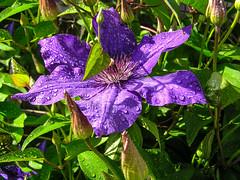 A Different Color Clematis (Denzil D) Tags: flowers rain clematis missouri wetflowers summercolors flowerphotography olympuspointshoot wifesflowergarden