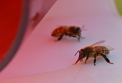 Bees (katia.kardenas) Tags: abejas close bees sugar cerca