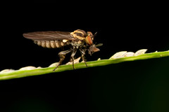 Robberfly with prey (mandokid1) Tags: macro canon costarica flies robber mpe65 mt24 5dmk111