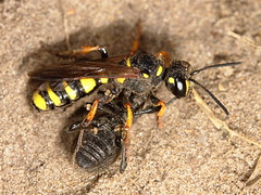 Cerceris arenaria and Otiorhynchus prey (Scrubmuncher) Tags: solitarywasp crabronidae predatoryinsect entiminae beetle neststocking maternalcare hymenoptera wasps solitarywasps predation nestbuilding entomology insects rosspiper ross piper