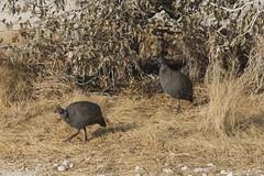 Helmeted Guineafowl (wietsej) Tags: wild bird nature sony namibia 70200 etosha guineafowl helmeted a900 sal70200g