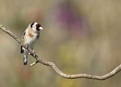 Chardonneret lgant (isabellebienfait1) Tags: bird rouge bokeh goldfinch plumes lgant chardonneret