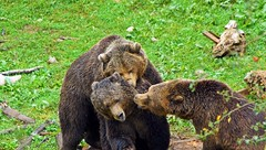 The gamers (Gutrem) Tags: bear travel wild tourism nature animal mammal photography reflex tour wildlife sony bears scenic natura fotografia tamron turismo viaggi croazia animale tourisme orsi orso hrvatska a77 tamron70300 mammifero kuterevo alpha77