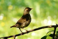 A young Thrush (evisdotter) Tags: nature bokeh thrush fgel sooc trast