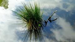 earth, water, sky (byronv2) Tags: park sky plants plant colour reflection green nature water clouds rural reeds scotland countryside flora glasgow milngavie mugdock mugdockcountrypark