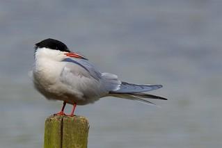Common Tern (Explored 15-05-16)