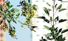 colibri (guilletho) Tags: naturaleza bird nature canon landscape backyard hummingbird wildlife ave pajaro humming colibri escenery watchingbird