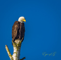 I Am Watching You.jpg (Eye of G Photography) Tags: trees usa grass eagle places swamp northamerica marsh washingtonstate slough skagitvalley deadtrees wylieslough skagitwildlifearea